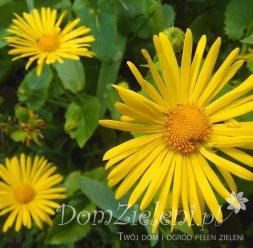 omieg wschodni Doronicum orientale