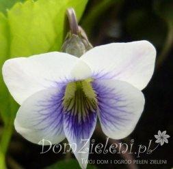fiołek motylkowaty Viola sororia