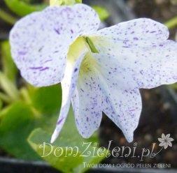 fiołek motylkowaty Freckless Viola sororia Freckless