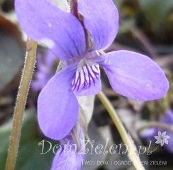 fiołek labradorski Viola labradorica