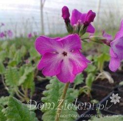 pierwiosnek Siebolda Primula sieboldii