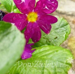 pierwiosnek pruhonicki Wanda Primula x pruhoniciana Wanda