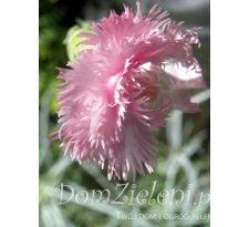 goździk pierzasty Delicata Dianthus plumarius Delicata