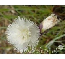 goździk pierzasty Diamant Dianthus plumarius Diamant