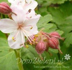 bodziszek korzeniasty Spessart Geranium macrorhizum Spessart