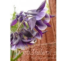 orlik pospolity Aquilegia vulgaris