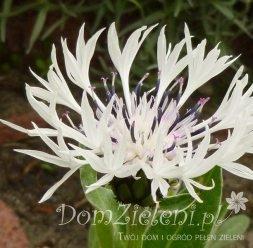 chaber górski Alba Centaurea montana Alba