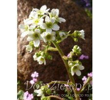 skalnica liścieniolistna Saxifraga cotyledon