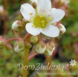 skalnica gronkowa Saxifraga paniculata