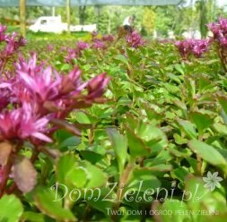 rozchodnik kaukaski Purpurteppich Sedum spurium Purpurteppich