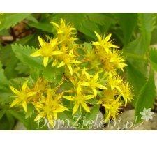rozchodnik kwiecisty Sedum floriferum