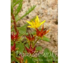rozchodnik Middendorfa Sedum middendorfianum