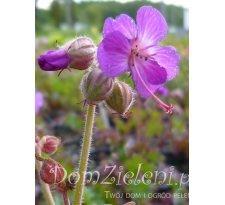 bodziszek korzeniasty Bevan's Variety Geranium macrorhizum Bevan's Variety