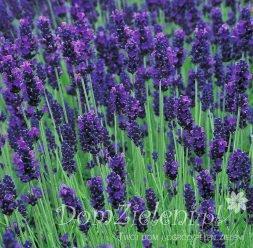 lawenda wąskolistna Dwarf Blue Lavandula angustifolia Dwarf Blue