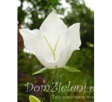 dzwonek brzoskwiniolistny Alba Campanula persicifolia Alba