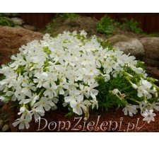 płomyk szydlasty White Delight Phlox subulata White Delight