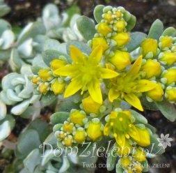 rozchodnik łopatkowaty Cape Blanco Sedum spathulifolium Cape Blanco