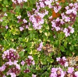macierzanka cytrynowa Doone Valley Thymus x citriodorus Doone Valley