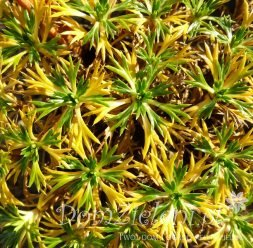 azorella trójwidlasta Azorella trifurcata
