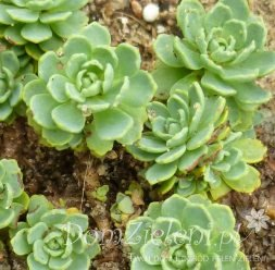 rozchodnik grubopędowy Sedum pachyclados