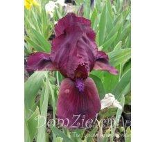kosaciec niski Cherry Garden Iris pumila Cherry Garden