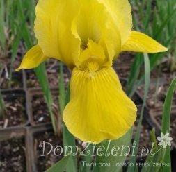 kosaciec niski Pagan Gold Iris pumila Pagan Gold