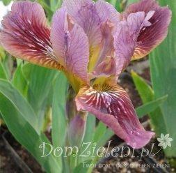 kosaciec niski Trosty Rusty Iris pumila Trosty Rusty