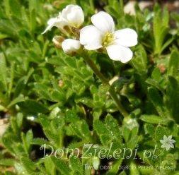 skalnica poduszkowa (s. krótkozaostrzona) Alba Saxifraga apiculata Alba