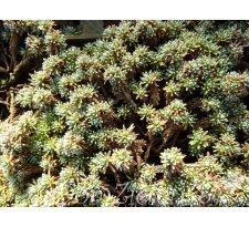 pierwiośnik górski Vitaliana primuliflora