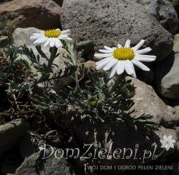 rumian karpacki Anthemis carpatica