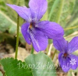 fiołek wonny Viola odorata