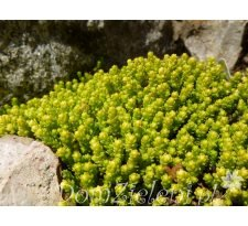 rozchodnik ostry Yellow Queen Sedum acre Yellow Queen