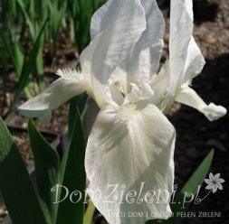 kosaciec niski Weiss Iris pumila Weiss