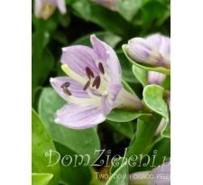 funkia Pure Hearts Hosta x hybrida Pure Hearts