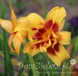 liliowiec Bonanza Hemerocallis x hybrida Bonanza
