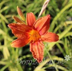 liliowiec rdzawy Europa Hemerocallis fulva Europa