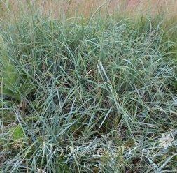 wydmuchrzyca piaskowa Elymus arenarius