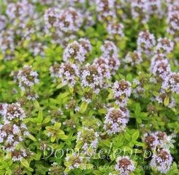 macierzanka cytrynowa Aureus Thymus x citriodorus Aureus