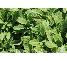 szałwia lekarska Icterina Salvia officinalis Icterina