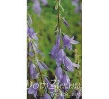 dzwonecznik szerokolistny Adenophora latifolia