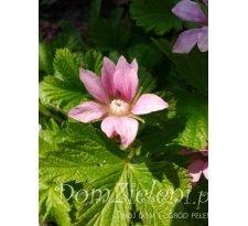 jeżyna arktyczna (malina arktyczna, m. tekszla) Rubus arcticus