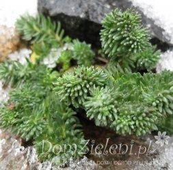 rozchodnik ościsty f. grzebieniasta Sedum reflexum f. cristatum