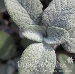 szałwia lekarska Culinaria Salvia officinalis Culinaria