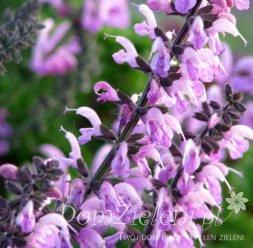 szałwia omszona Amethyst Salvia nemorosa Amethyst