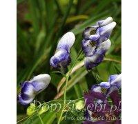 tojad mocny Bicolor Aconitum napellus  Bicolor