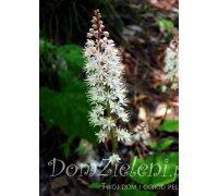 tiarella sercolistna Tiarella cordifolia