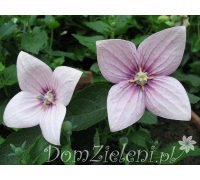 rozwar wielkokwiatowy Fuji Pink Platycodon grandiflorus Fuji Pink