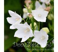 rozwar wielkokwiatowy Platycodon grandiflorus Fuji White