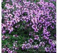 macierzanka piaskowa Coccineus Thymus serpyllum Coccineus