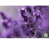 lawenda wąskolistna Hidcote Lavandula angustifolia Hidcote